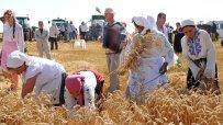 започна-основната-жътва-на-пшеница-в-силистренско-46483.jpg