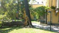 вековно-дърво-падна-в-царската-градина-в-софия-47055.jpg