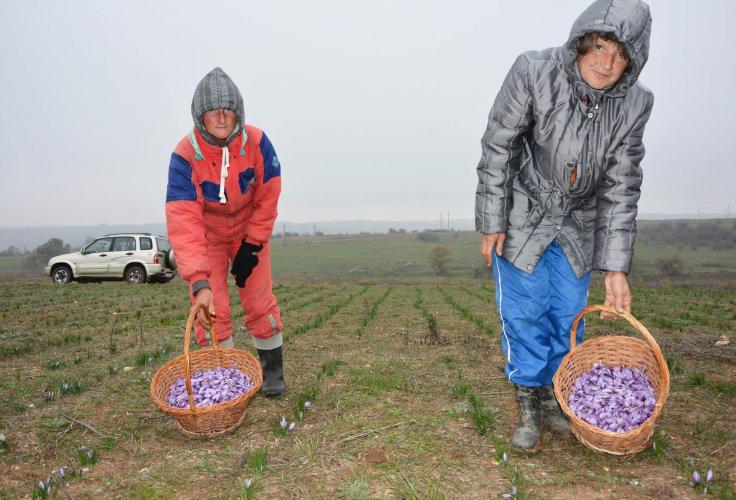 приключва-прибирането-на-реколтата-от-шафран-50854.jpg