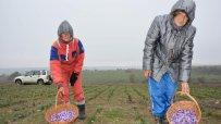 Приключва прибирането на реколтата от шафран