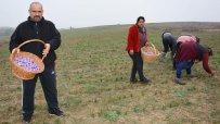 приключва-прибирането-на-реколтата-от-шафран-50855.jpg