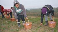 приключва-прибирането-на-реколтата-от-шафран-50857.jpg