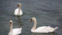 скандинавските-лебеди-пристигнаха-във-варна-51700.jpg