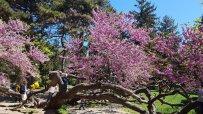 легендарното-криво-дърво-във-варна-разцъфтя-57087.jpg