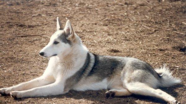 Продават на търг ловни кучета