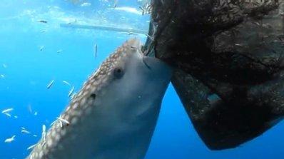 Акула краде риба от рибарска мрежа (видео)