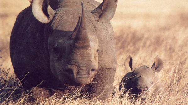 Избиването на носорози в Южна Африка продължава