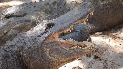 Алигатор хвана престъпник, докато бяга от полицията