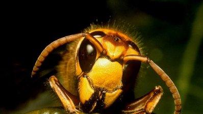 Бум на ужилени от стършели, оси и пчели