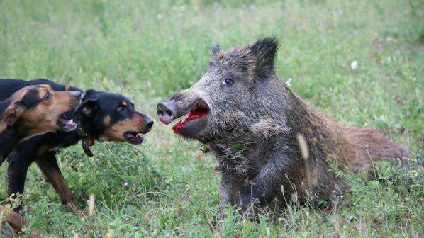 Подивели домашни прасета нападат ловци и кучета във Варненско