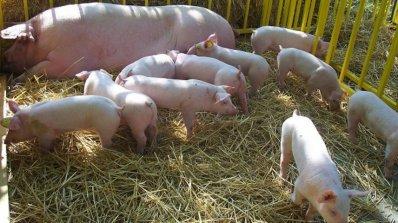 Субсидират стопаните, които хуманно отглеждат свине или птици
