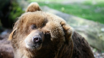 С гумени куршуми прогонват мечката край Забърдо