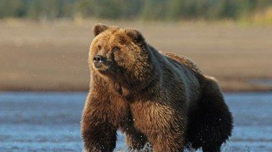 Сибирска мечка уби мъж