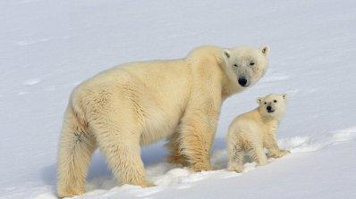 Полярните мечки вече са сред застрашените видове