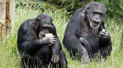 Съд в САЩ призна шимпанзето за човек