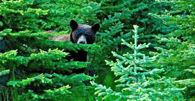 Швед прогони мечка с рев (видео)