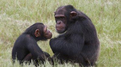 Алкохолът е превърнал маймуните в хора (видео)