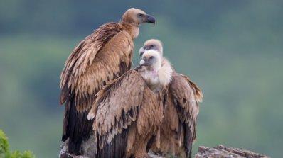 Предотвратиха опити за посегателство върху гнезда на лешояди