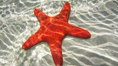 Морските звезди живеят по-дълго без секс