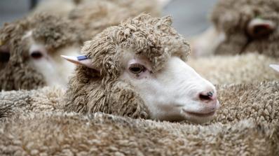 Мъртви овци са намерени край родопското село Арда