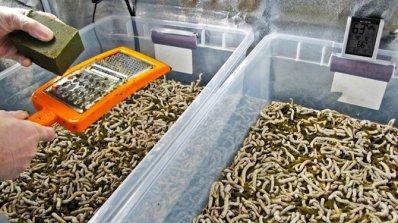 Мухите, червеите и щурците са безопасни и екологични храни, реши ЕС