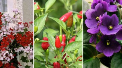 С кои саксийни цветя може да се справи всеки от нас