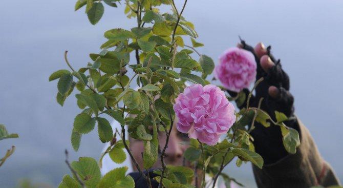 Занесоха първите 50 кг рози за дестилация