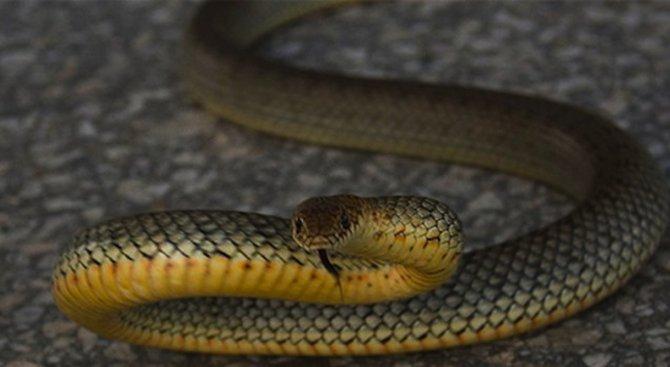 Майки и деца пищят заради огромна змия във Варна