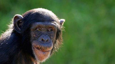 Шимпанзета си майсторят инструменти, за да пият алкохол