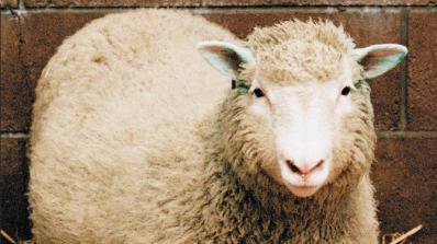 20 години от клонирането на овцата Доли
