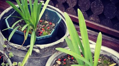 Домашните растения могат да се окажат опасни са за здравето