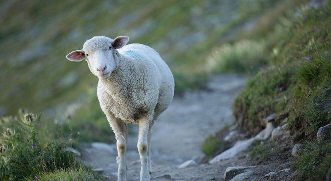 Съдът наказа четирима непълнолетни, задигнали овце