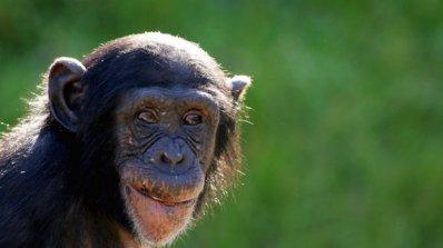 Шимпанзетата вярват в Бог? (видео)