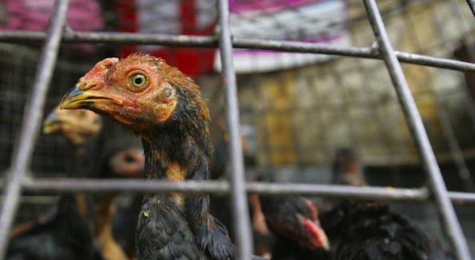 Открити са нови огнища на птичи грип в област Хасково