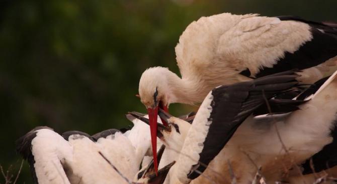 Гледайте НА ЖИВО: Какво се случва в едно щъркелово гнездо? (снимки)