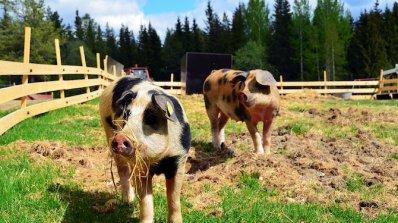 ЕК одобри нотификация на държавна помощ за хуманно отношение към свинете за 178 млн. лв. до 2022 г.