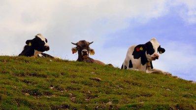 Мистериозна смърт покоси крави, пили вода от река Тунджа