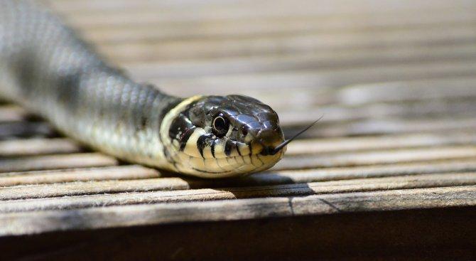 Змии хапят по 200 души през лятото