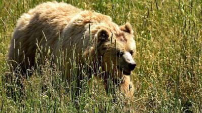 Мечки убиват животни и плашат хора в Смолянско
