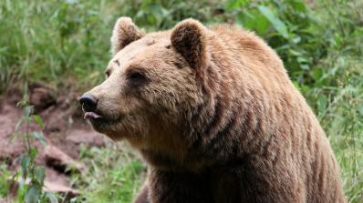 В Румъния ще умъртвяват мечки и вълци заради нападения над хора (видео)