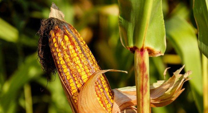 Нива с 600 декара узряла царевица е изгоряла край село Горни Цибър