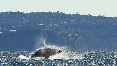 Стотици китове и делфини загинаха на Фарьорските острови (снимки 18+)