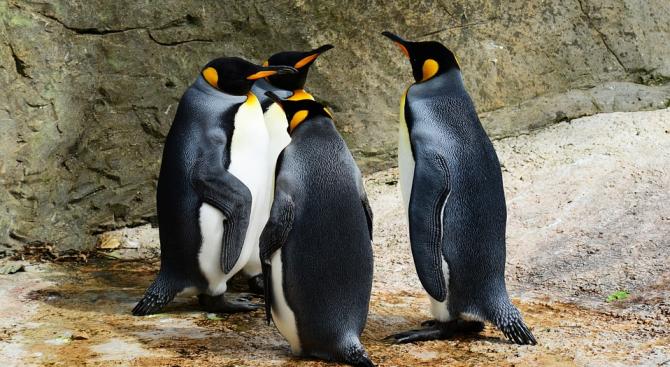 Китайски зоопарк подлъгва туристи с надуваеми пингвини (снимка)