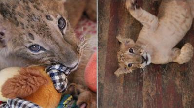 В Пазарджик разочаровани, че им взеха лъвчетата (видео)