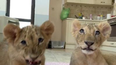 Лъвчетата Терез и Масуд няма да заминат за спасителен център в Холандия