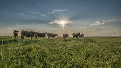 Бил Гейтс вложи 40 млн. долара за селектирането на идеалната крава