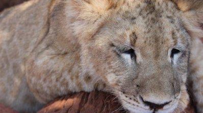 Протест в защита на лъвчетата Терез и Масуд
