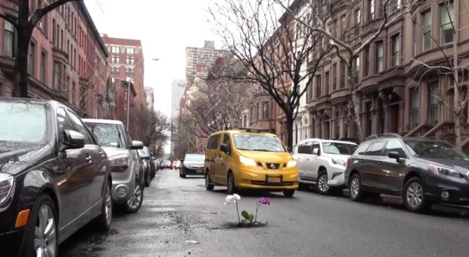 Шегаджия сади дръвчета и цветя в дупки по нюйоркските улици (видео)