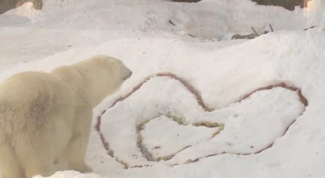 Бели мечки получиха романтична закуска за Свети Валентин (видео)