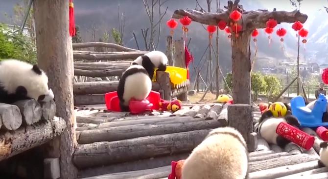 Панди в китайски зоопарк получиха подаръци за Нова година (видео)